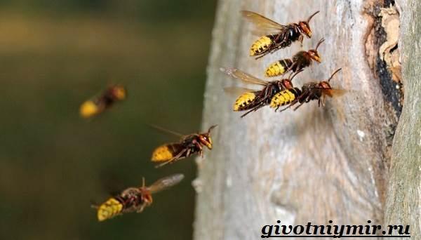 Оса-насекомое-Образ-жизни-и-среда-обитания-осы-7