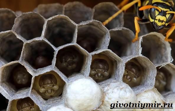Оса-насекомое-Образ-жизни-и-среда-обитания-осы-8
