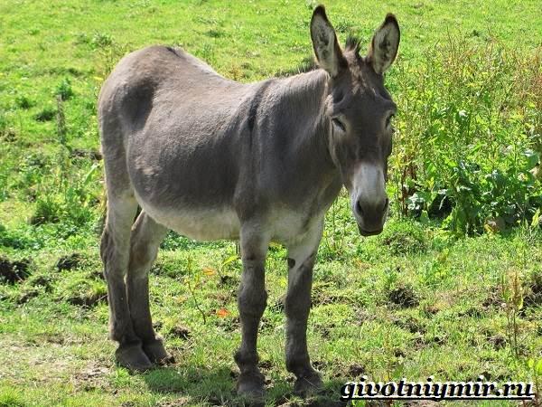Осёл-животное-Образ-жизни-и-среда-обитания-осла-4