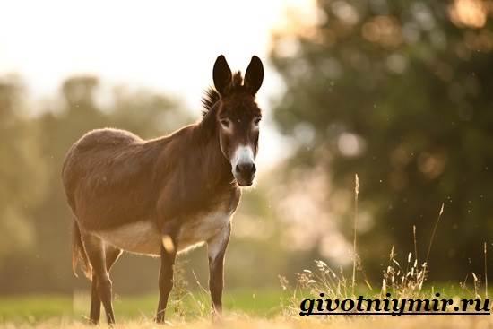 Осёл-животное-Образ-жизни-и-среда-обитания-осла-7