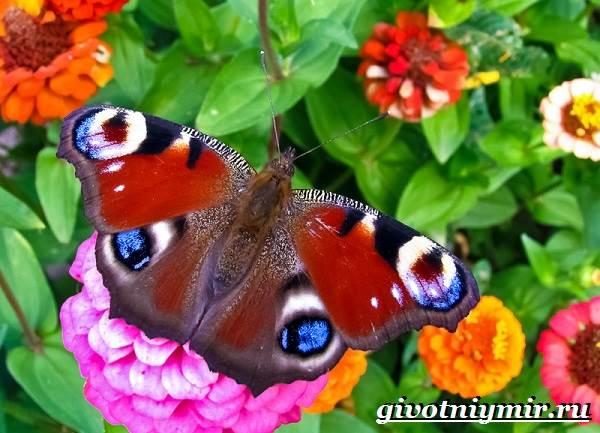 дневной павлиний глаз бабочка фото