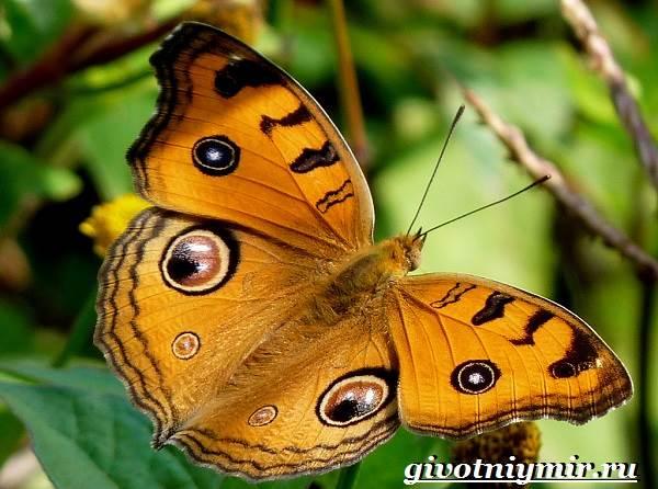 Павлиний-глаз-бабочка-Образ-жизни-и-среда-обитания-бабочки-павлиний-глаз-4