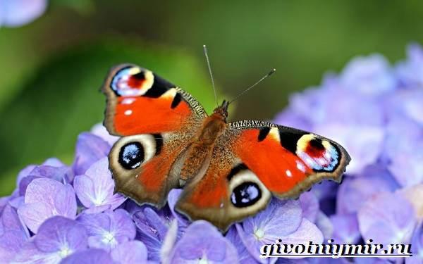 Бабочка коричневая с глазками
