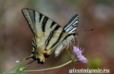 Подалирий бабочка. Образ жизни и среда обитания бабочки подалирий
