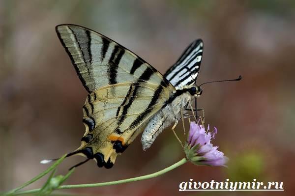 Подалирий-бабочка-Образ-жизни-и-среда-обитания-бабочки-подалирий-1