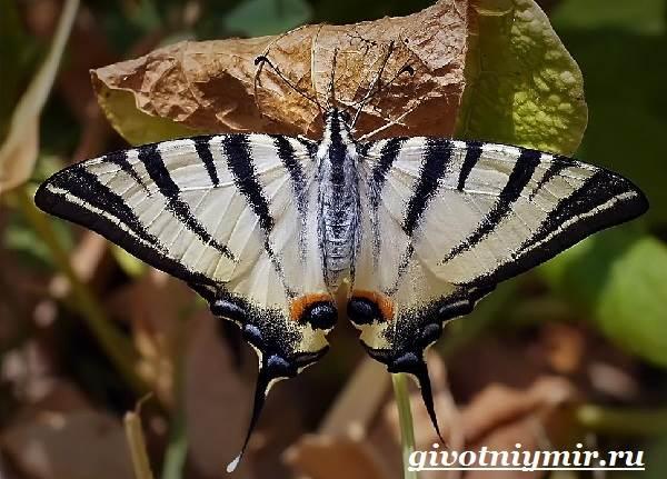 Подалирий-бабочка-Образ-жизни-и-среда-обитания-бабочки-подалирий-2