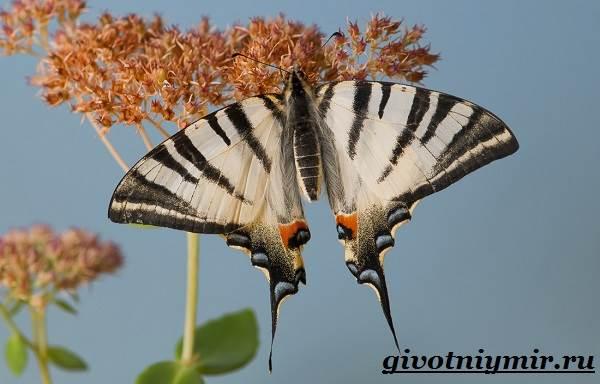 Подалирий-бабочка-Образ-жизни-и-среда-обитания-бабочки-подалирий-3