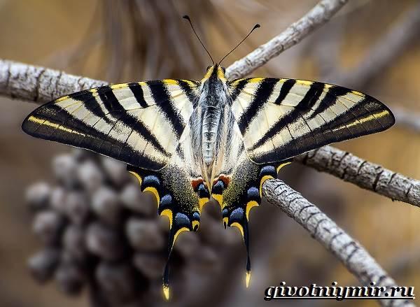 Подалирий-бабочка-Образ-жизни-и-среда-обитания-бабочки-подалирий-4