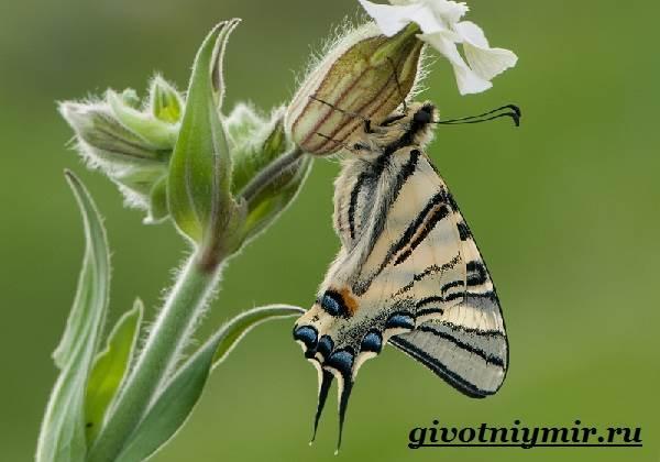 Подалирий-бабочка-Образ-жизни-и-среда-обитания-бабочки-подалирий-5