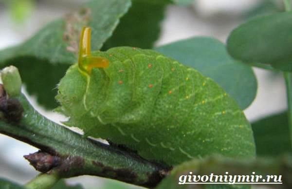 Подалирий-бабочка-Образ-жизни-и-среда-обитания-бабочки-подалирий-6