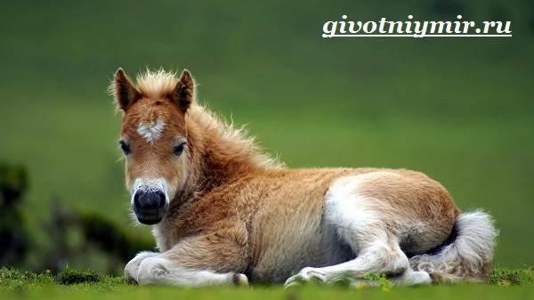 Пони-лошадь-Образ-жизни-и-среда-обитания-пони-1