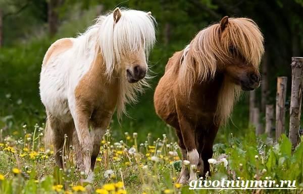 Пони-лошадь-Образ-жизни-и-среда-обитания-пони-2