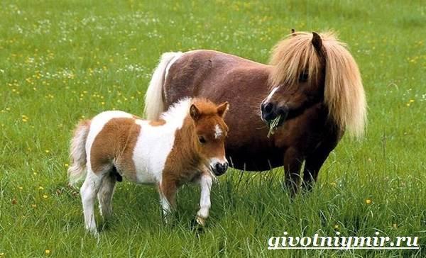 Пони-лошадь-Образ-жизни-и-среда-обитания-пони-3