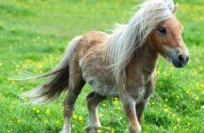 Пони лошадь. Образ жизни и среда обитания пони