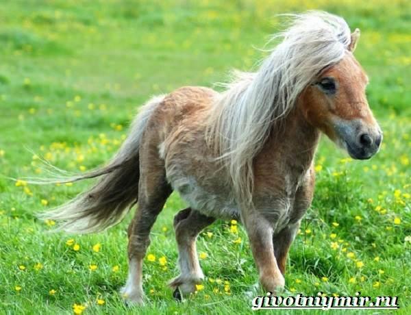 Пони-лошадь-Образ-жизни-и-среда-обитания-пони-4