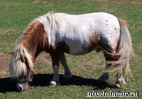Пони-лошадь-Образ-жизни-и-среда-обитания-пони-6