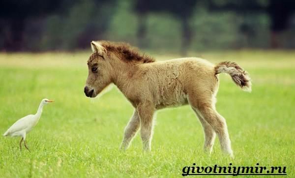 Пони-лошадь-Образ-жизни-и-среда-обитания-пони-7