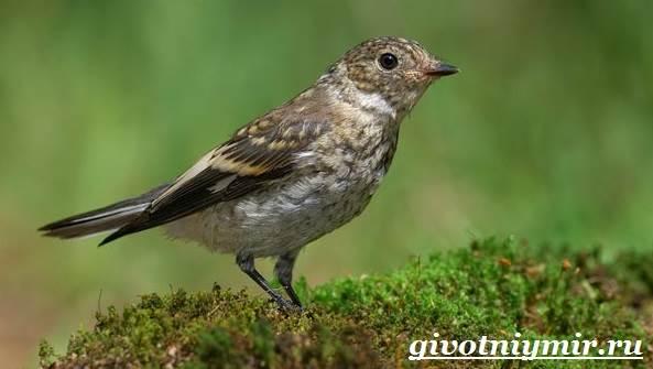 Птица-мухоловка-Образ-жизни-и-среда-обитания-птицы-мухоловки-2