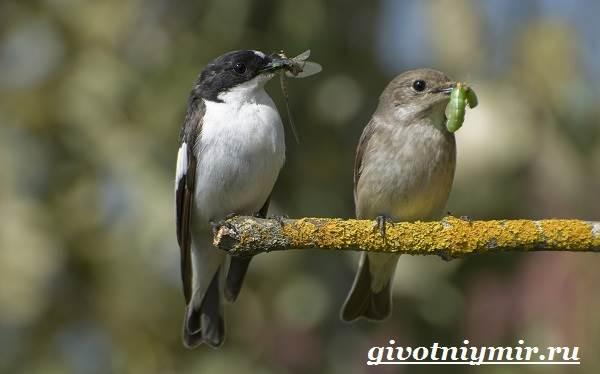 Птица-мухоловка-Образ-жизни-и-среда-обитания-птицы-мухоловки-5