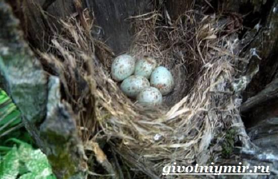 Птица-мухоловка-Образ-жизни-и-среда-обитания-птицы-мухоловки-6