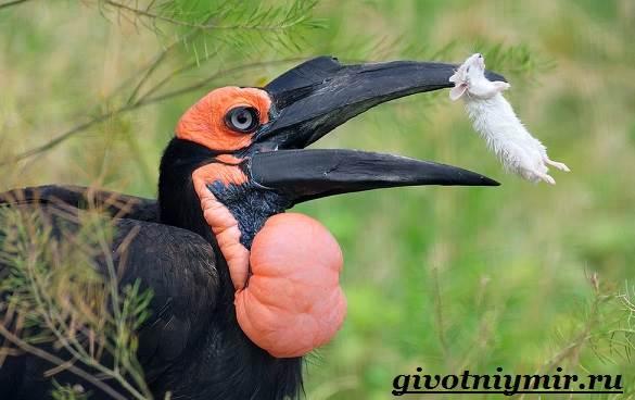 Птица-носорог-Образ-жизни-и-среда-обитания-птицы-носорог-5