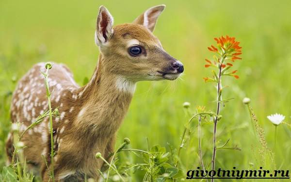Пятнистый-олень-Образ-жизни-и-среда-обитания-пятнистого-оленя-1