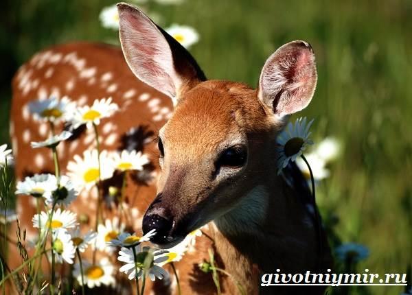 Пятнистый-олень-Образ-жизни-и-среда-обитания-пятнистого-оленя-5