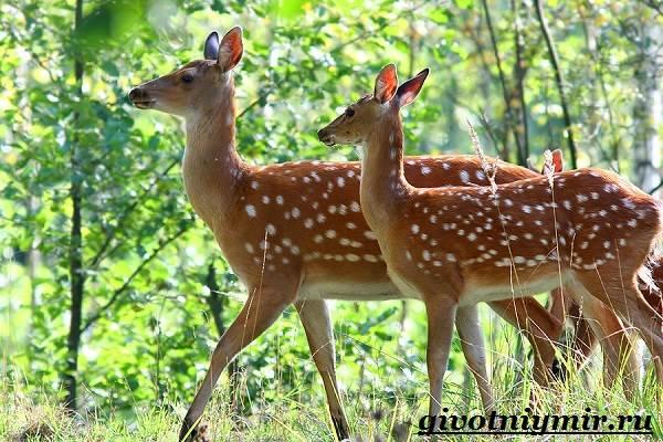 Пятнистый-олень-Образ-жизни-и-среда-обитания-пятнистого-оленя-6