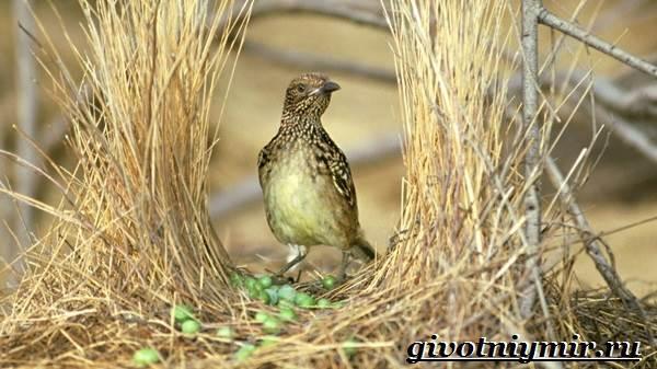 Шалашник-птица-Образ-жизни-и-среда-обитания-шалашника-1