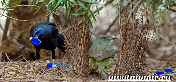 Шалашник-птица-Образ-жизни-и-среда-обитания-шалашника-2