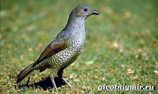 Шалашник-птица-Образ-жизни-и-среда-обитания-шалашника-3