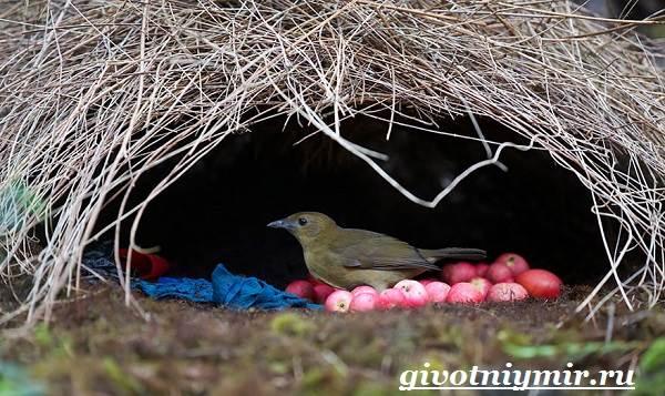 Шалашник-птица-Образ-жизни-и-среда-обитания-шалашника-5