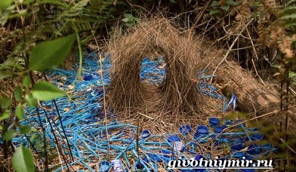 Шалашник-птица-Образ-жизни-и-среда-обитания-шалашника-6