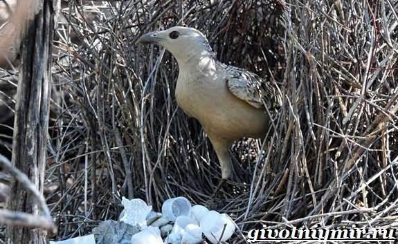 Шалашник-птица-Образ-жизни-и-среда-обитания-шалашника-7