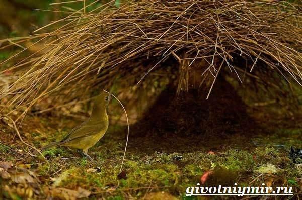 Шалашник-птица-Образ-жизни-и-среда-обитания-шалашника-8