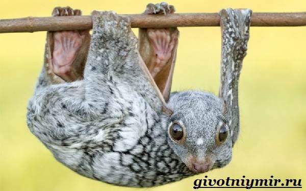 Шерстокрыл-животное-Образ-жизни-и-среда-обитания-шерстокрыла-1