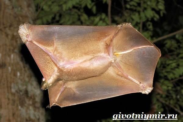 Шерстокрыл-животное-Образ-жизни-и-среда-обитания-шерстокрыла-2