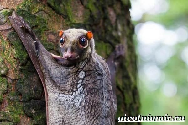 Шерстокрыл-животное-Образ-жизни-и-среда-обитания-шерстокрыла-3