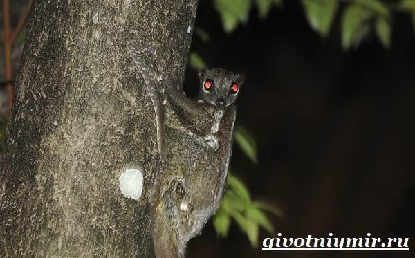 Шерстокрыл-животное-Образ-жизни-и-среда-обитания-шерстокрыла-4