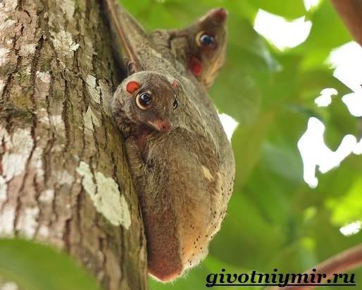 Шерстокрыл-животное-Образ-жизни-и-среда-обитания-шерстокрыла-7