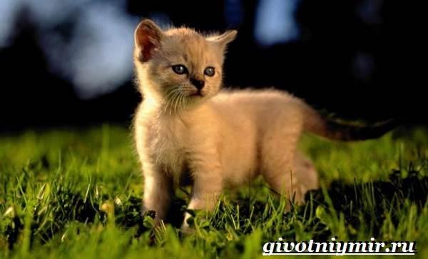 Сиамская-кошка-Особенности-образ-жизни-и-уход-за-сиамской-кошкой-10
