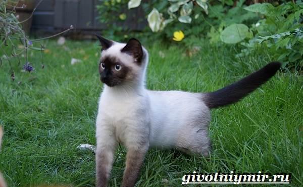 Сиамская-кошка-Особенности-образ-жизни-и-уход-за-сиамской-кошкой-11