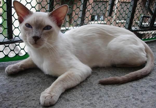 Сиамская-кошка-Особенности-образ-жизни-и-уход-за-сиамской-кошкой-20