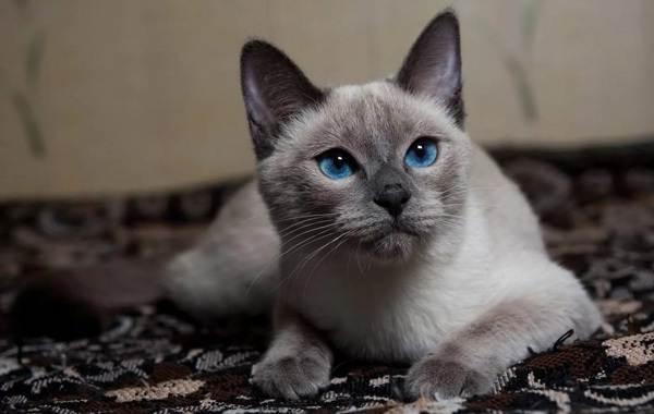 Сиамская-кошка-Особенности-образ-жизни-и-уход-за-сиамской-кошкой-21