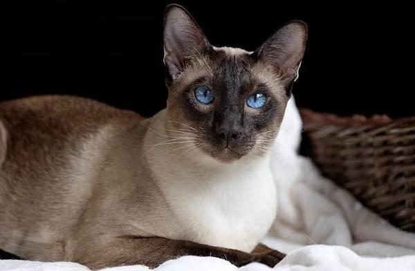 Сиамская-кошка-Особенности-образ-жизни-и-уход-за-сиамской-кошкой-22