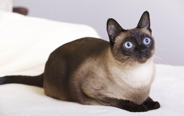 Сиамская-кошка-Особенности-образ-жизни-и-уход-за-сиамской-кошкой-23