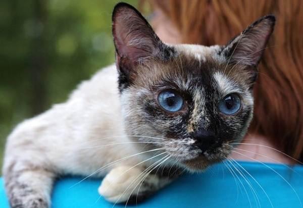 Сиамская-кошка-Особенности-образ-жизни-и-уход-за-сиамской-кошкой-24