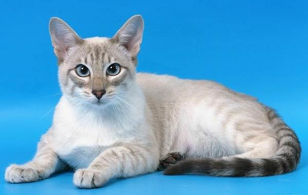 Сиамская-кошка-Особенности-образ-жизни-и-уход-за-сиамской-кошкой-25
