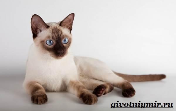 Сиамская-кошка-Особенности-образ-жизни-и-уход-за-сиамской-кошкой-1