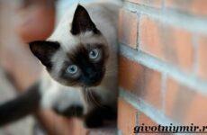 Сиамская кошка. Особенности, образ жизни и уход за сиамской кошкой